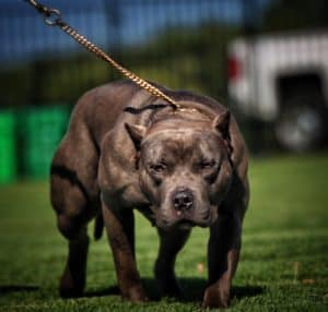 Better Built Bulliez Kennel - American Bully