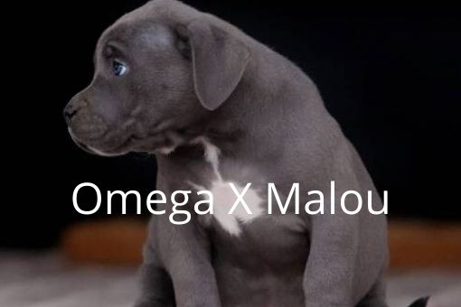 Better Built Bulliez Kennel - Omega x Malou