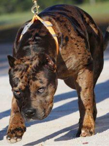 Better Built Bulliez Kennel 'PR' MSB'S DELTA DAWN